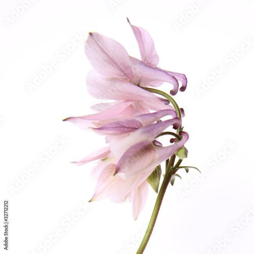 Pink Columbine flower on white background Fototapeta