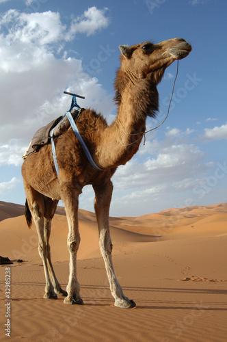 Canvas Print Arabian camel