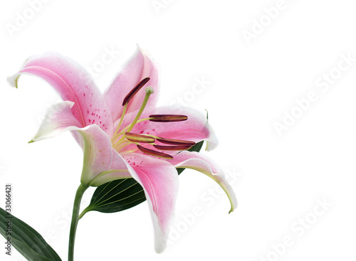 Lily flower isolated Fototapet