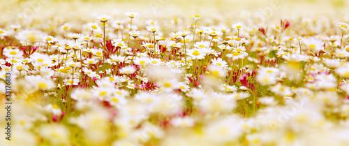 Daisy field #33176813