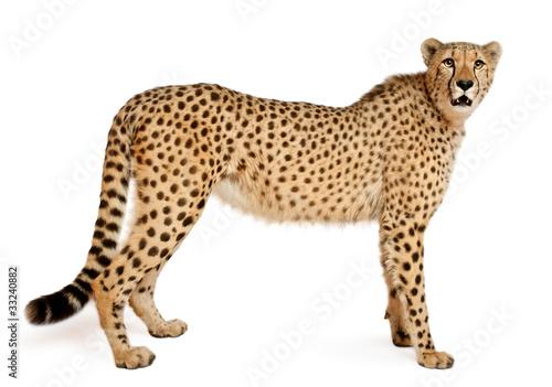 Foto Cheetah, Acinonyx jubatus, 18 months old, standing