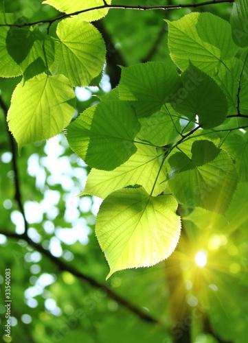 fresh spring foliage #33540083