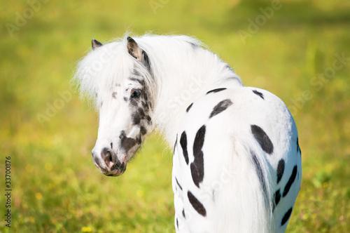 Stampa su Tela Appaloosa pony portrait