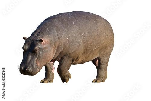 Fototapeta Hippopotamus against a white background; hippopotamus amphibius