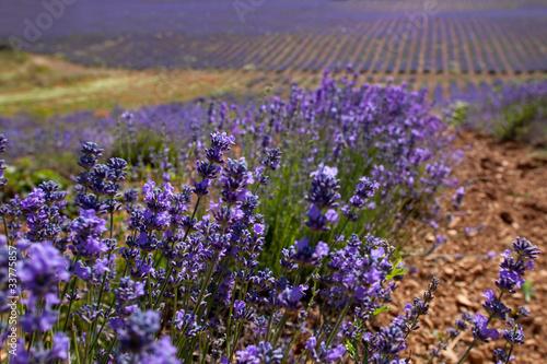 Fototapeta premium Sault Lavender