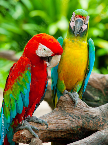 colorful couple macaw sitting in a tree #34187273