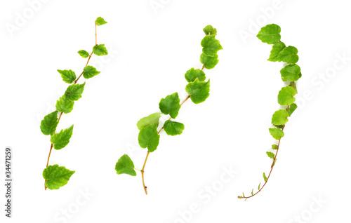 Fotografia, Obraz Set of three creeper branches.