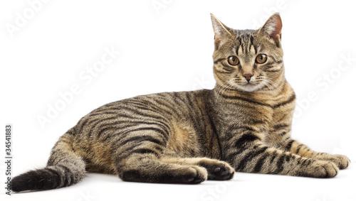 Canvas Print Striped purebred cat