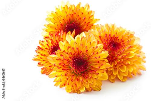 Fotografering orange chrysanthemum