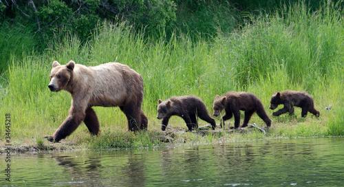 Obraz na plátne Female Alaskan brown bear with cubs