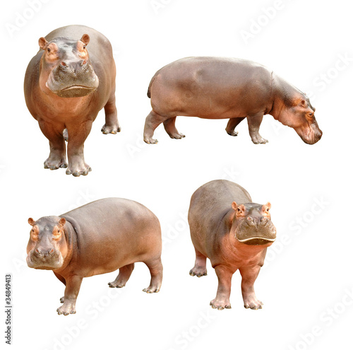 Carta da parati hippopotamus