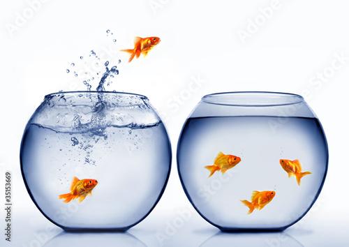 Obraz na plátně goldfish jumping out of the water