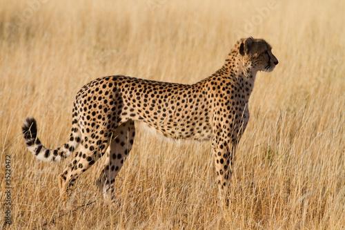 Photographie female cheetah