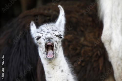 Junges Lama