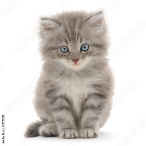 Stampa su Tela Kitten on a white background