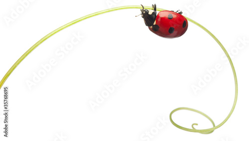 Fotografia Seven-spot ladybird or seven-spot ladybug on Larger Bindweed