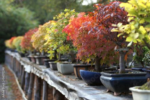 Bonsaiaufzucht im Herbst