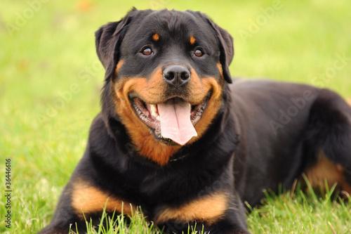 Fotografie, Obraz Rottweiler 9