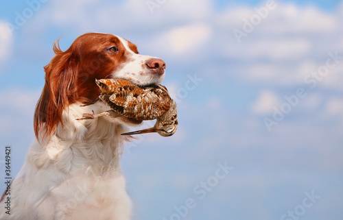 Fotografia hunting dog holding in teeth a woodcock, outdoors