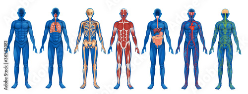 Canvas Human Body Systems