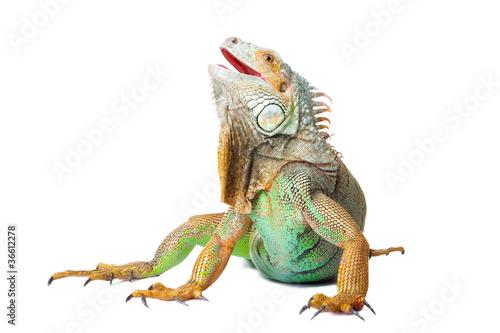 Photo iguana on isolated white