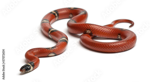 Sinaloan milk snake, Lampropeltis triangulum sinaloae