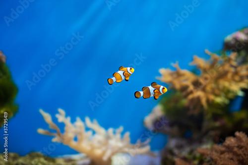 Fotografie, Tablou clown fish in the aquarium
