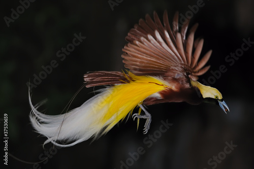 bird of paradise in flight #37530659