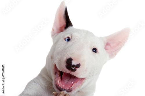Photo Bullterrier puppy - studio portrait