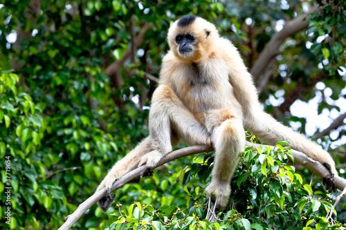Canvas-taulu Gibbon of golden cheeks, Nomascus gabriellae
