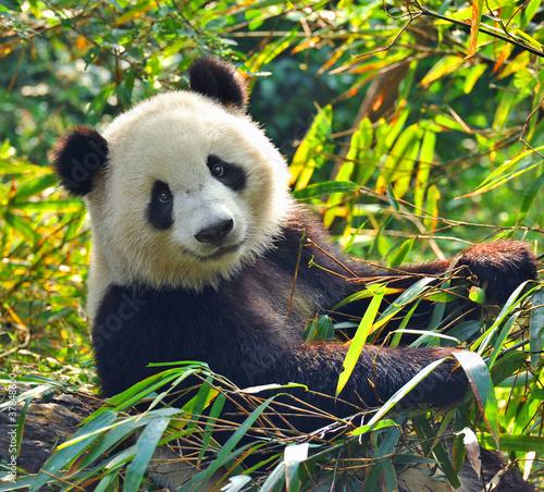 Hungry giant panda bear eating bamboo #37848600