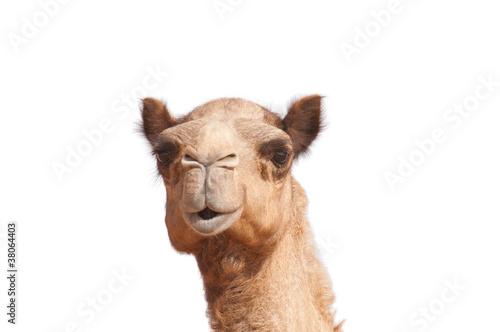 Canvas Print isolated camel head