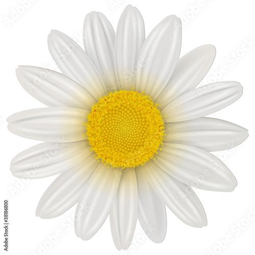 Billede på lærred Daisy flower isolated