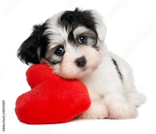 Fotografie, Obraz Lover Valentine Havanese puppy with a red heart