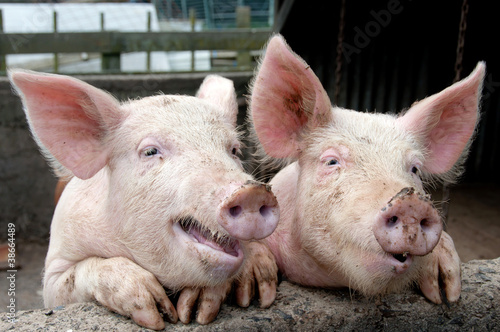 Pigs being silly trying to talk