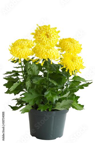 Fotografía Curly Chrysanthemum