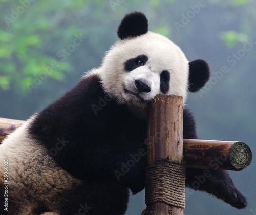 Fotografie, Obraz Giant panda bear looking at camera