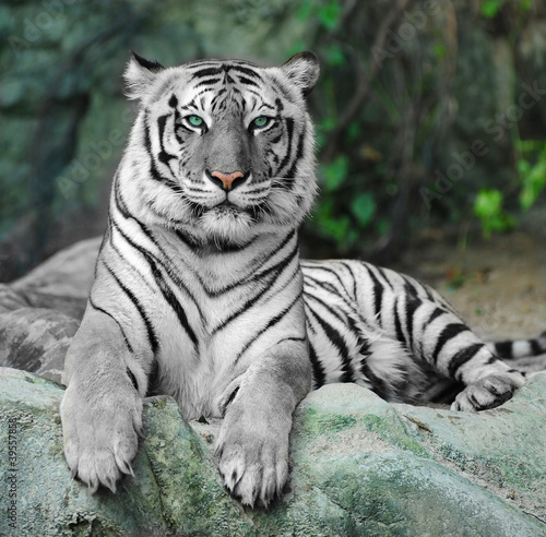 Canvas Print WHITE TIGER on a rock in zoo