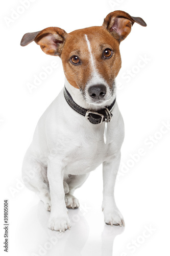 Canvas Print jack russell terrier
