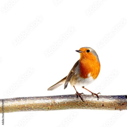 Photo European robin on a branch