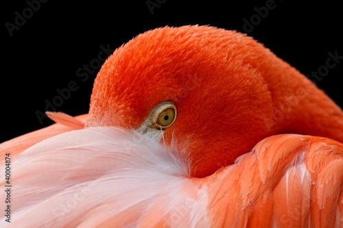 flamingo #40004874