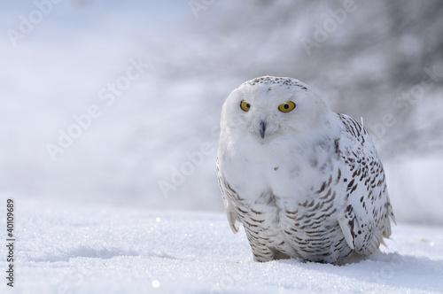 Obraz na plátně snowy owl sitting on the snow