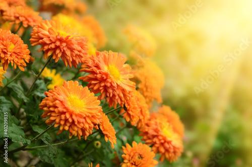 Fototapeta Chrysanthemums