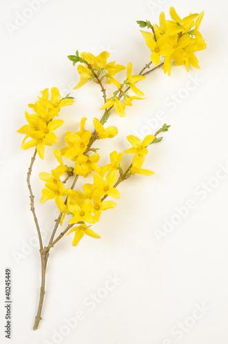 Fotografie, Tablou Planche botanique / Forsythia x