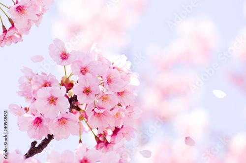 Foto Sakura in voller Blüte