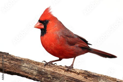 Vászonkép Isolated Cardinal On A Stump