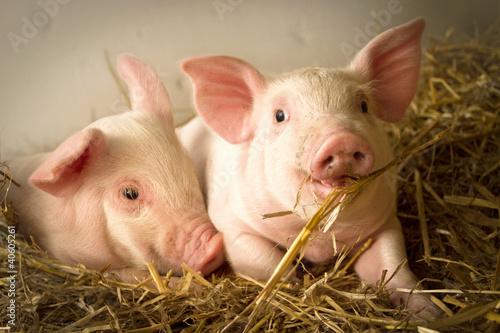 Fotografia Pigs in a barn I