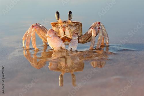 Alert ghost crab (Ocypode ryderi) on the beach