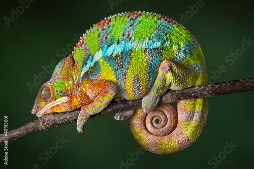 Sleeping Chameleon #40913001