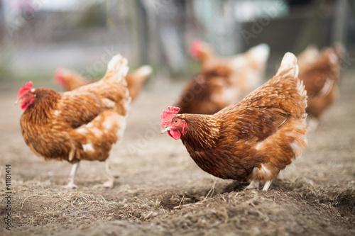 Fotografia Closeup of a hen in a farmyard (Gallus gallus domesticus)